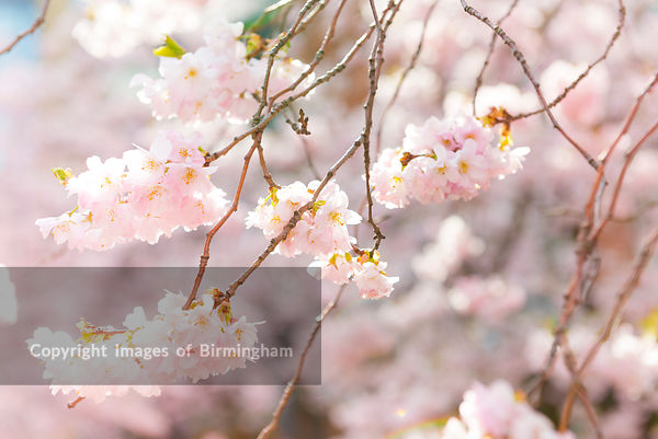Cherry Blossom in Oozells Square, Brindleyplace, Birmingham