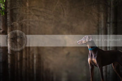 brown and tan doberman dog with minimal background