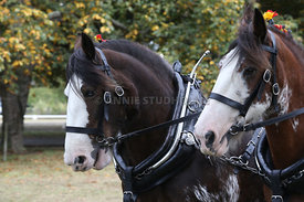 HOY_230314_clydesdales_3587