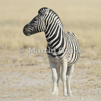 Plains Zebra (Equus burchellii), Etosha National Park, Namibia
