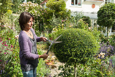 Lucy McAuslan-Crine, clipping one of her box lollipops, owner and creator of the garden at Eastfield, Yarlington, Somerset, UK