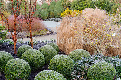 Acer griseum, paperbark  maples, with clipped box balls, Buxus sempervirens, witch hazel and grasses in the Winter Garden. Sir Harold Hillier Gardens, Ampfield, Romsey, Hants, UK