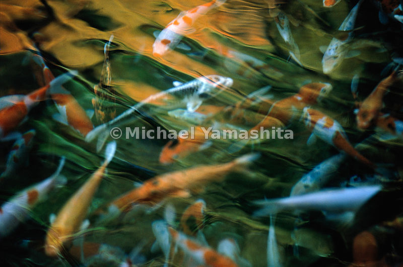 "Flashes of living color, brilliant carp flit through pond waters at Takaragawa hot springs. A symbol of strength, longevity, and good fortune, the auspicious carp, or koi, has long been praised in Japan as the ""king of river fish."""