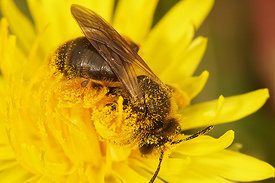 Andrena humilis, female on Taraxacum officinale