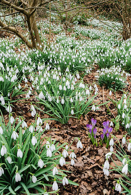 Clumps of tall Galanthus 'Atkinsii' are interspersed with bright crocus below hazel. Painswick Rococo Garden, Painswick, Glos, UK