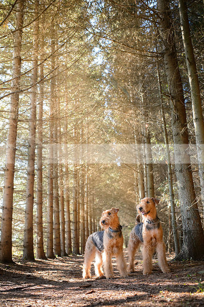two groomed airedale dogs standing together in pine trees