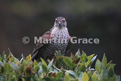 Juvenile male Eurasian Sparrowhawk (Accipiter nisus) sitting in the top of a garden Bay Laurel (Laurus nobilis) with transparent 3rd eyelids across the eyes