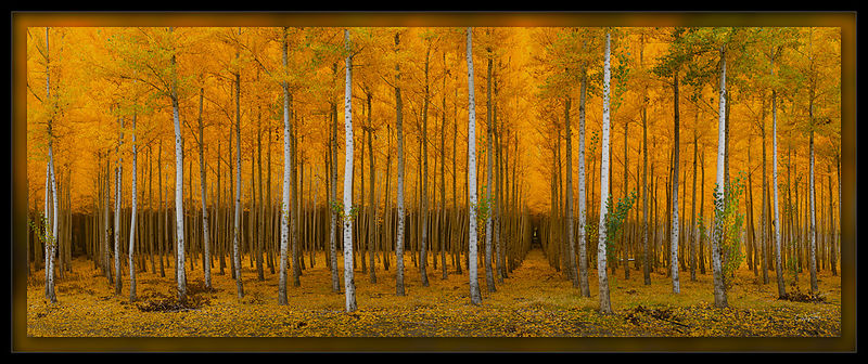 Forest of Gold