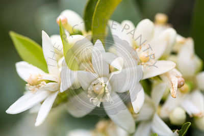 Orange blossom on tree in Mallorca Spring garden