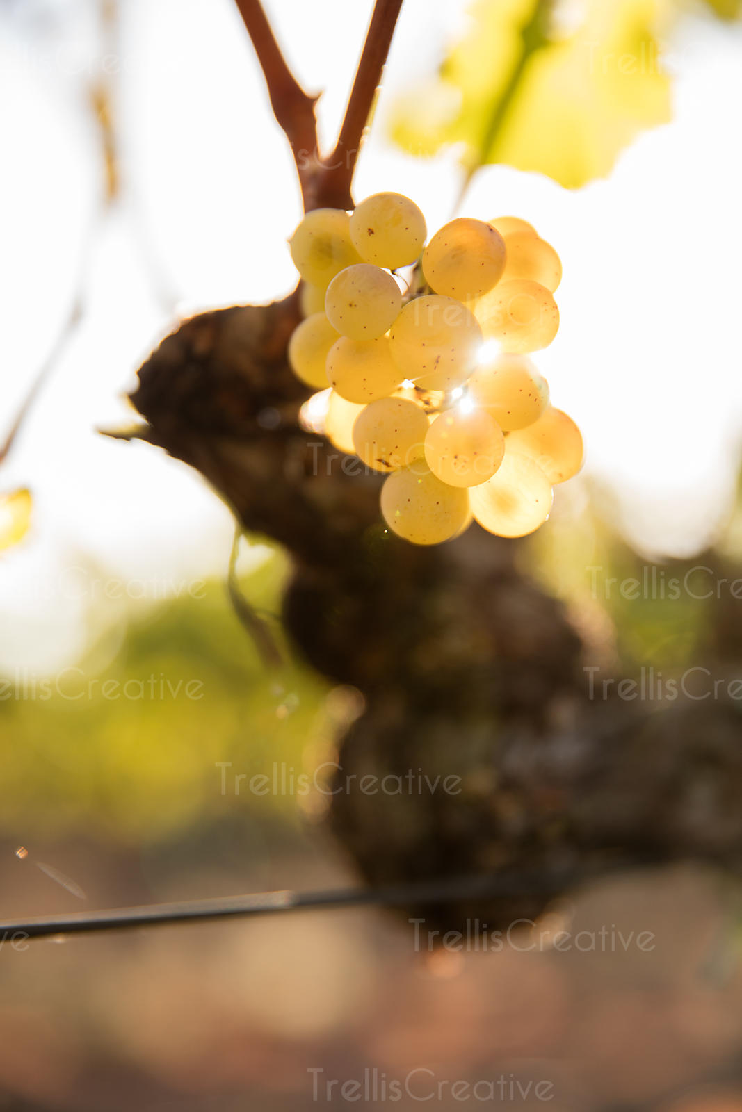 Ripe sauvignon blanc grapes hanging on grapevine