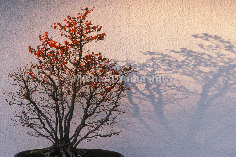 Bonzai tree casting shadow on a white wall.