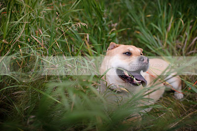 hot tan cross breed dog panting lying in natural grasses
