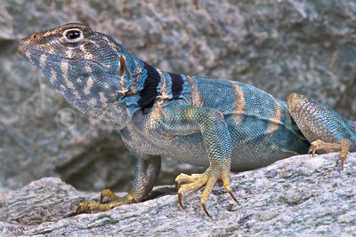 Desert collared lizard (Crotaphytus insularis) photos