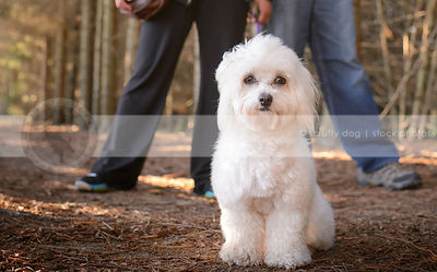 small white groomed havanese dog sitting in front of owners