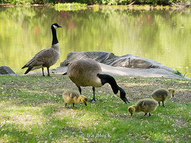 Canadian goose and gosling eating on grass at Central Park, NY.