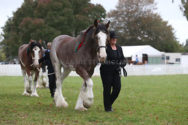 HOY_220314_Clydesdales_2372