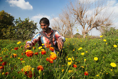 Flower farmer near Surajkund village, Rajasthan, India