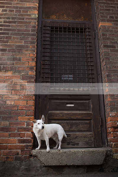 small white shorthaired terrier perched on doorstoop in urban setting