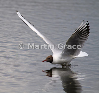 Black-Headed Gull (Larus ridibundus, Chroicocephalus ridibundus), Leighton Moss, Lancashire, England