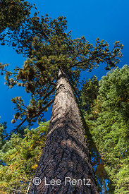 Jeffrey Pine Soaring Skyward in Lassen Volcanic National Park