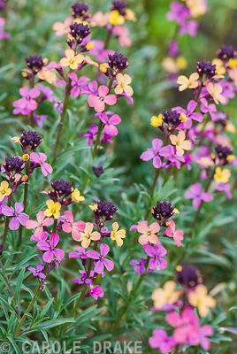 Erysimum mutabile. RHS Garden Rosemoor, Great Torrington, Devon, UK