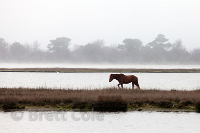 Wild horse (Equus ferus caballus) grazing on fringe wetlands in the open waters of Sinepuxent Bay, Assateague Island, Maryland