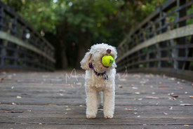 Small white dog on a bridge playing with ball in its mouth
