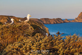 Paired Western Gulls at Inspiration Point on Anacapa Island