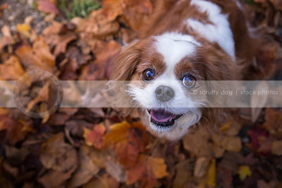 king charles cavalier spaniels photos