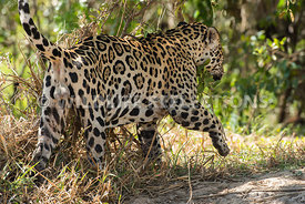 jaguar_scent_marking-3-Edit
