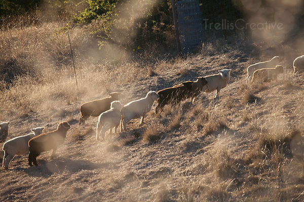 Herd of sheep on mountain slope