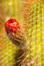 Red floweing cactus