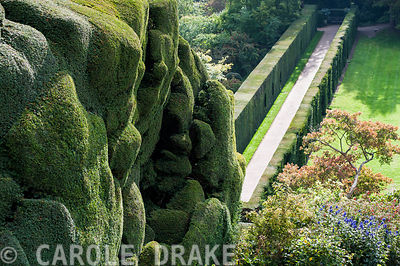 Massive undulating yew hedge at Powis Castle Gardens with the Yew Walk below