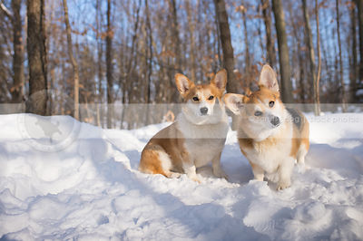 two curious corgis posing together in winter snow trees