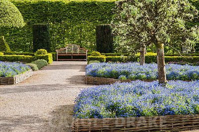 The Summer Garden is surrounded by hornbeam hedges and features clipped box, hurdle beds full of forget me nots and pollarded silver pears, Pyrus salicifolia. Holker Hall, Grange over Sands, Cumbria, UK