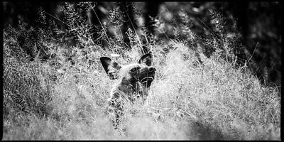 0930-Wild_dog_in_the_grass_Bostwana_2009_Laurent_Baheux