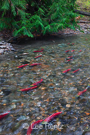 Sockeye Salmon at Redd Sites along Adams River