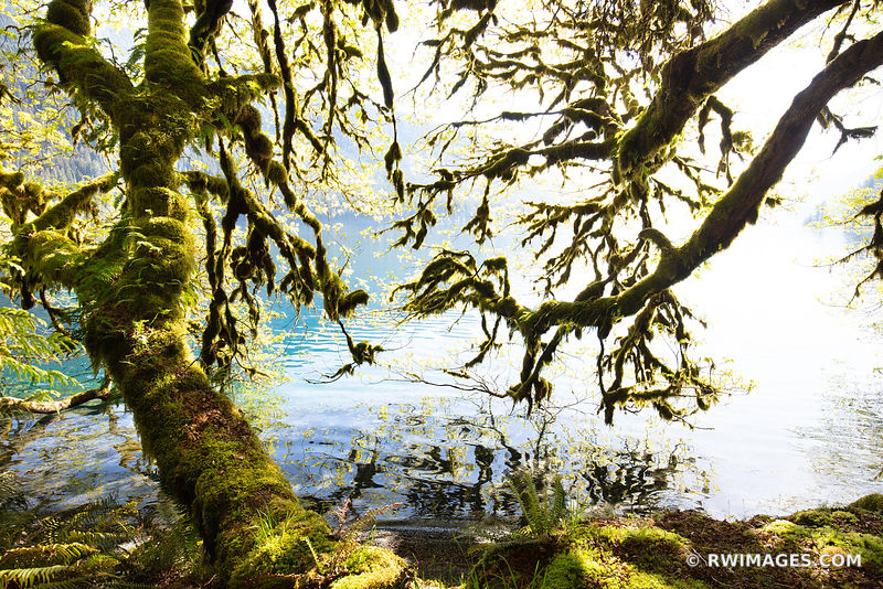 MOSS COVERED TREES LAKE CRESCENT OLYMPIC NATIONAL PARK WASHINGTON