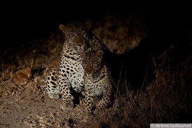 Leopard mating at Sabi Sand