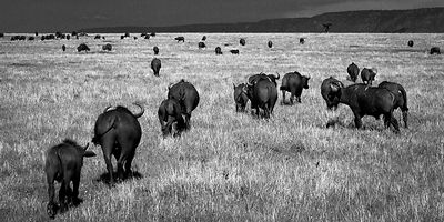 7129-Herd_of_buffalos_in_the_plain_Laurent_Baheux