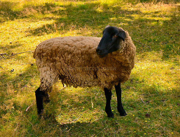 Black sheep with wool