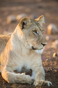 Young lion, Panthera leo, Kruger National Park, South Africa