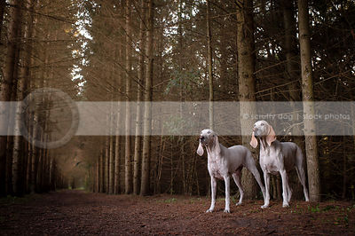 two large white hounds standing together in tunnel of trees