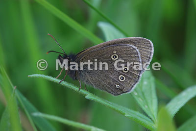 Under side of Ringlet butterfly (Aphantopus hyperantus), Cairngorms National Park, Badenoch, Scottish Highlands