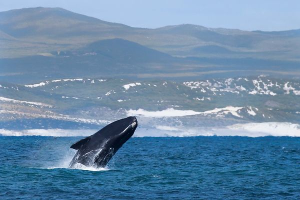 Whales in Hermanus (S.Africa) photos