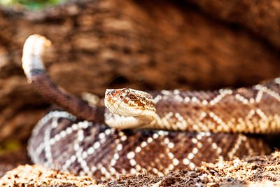 Closeup Of South American Rattlesnake By Rock