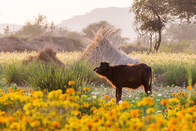 Calf in flower fields, Amba village, Rajasthan, India