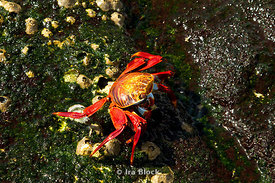 A sally lightfoot crab makes its way across the shoreline and finds a home near Punta Espinosa.