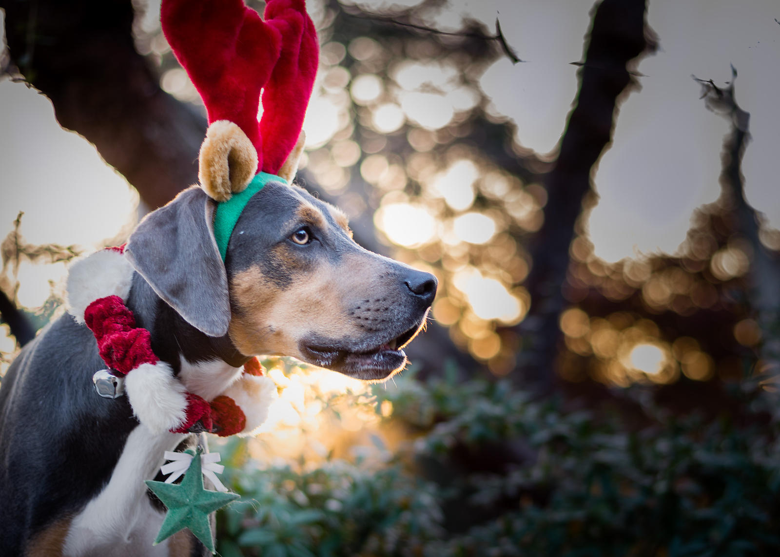 animal photography (dog) of a coonhound costumed for Christmas