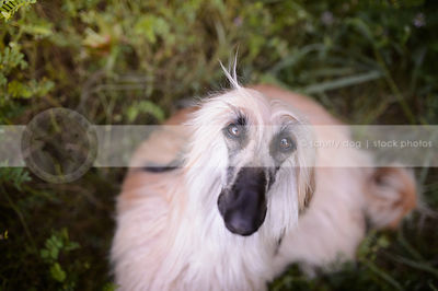 sweet blond and black longhaired dog staring up from natural setting